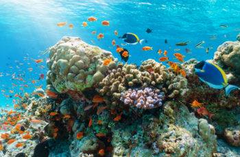 Colorful underwater reef with tropical fishes in the Indian Ocean, Maldives